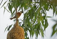 Penduline tit (Remiz pendulinus) builds a nest