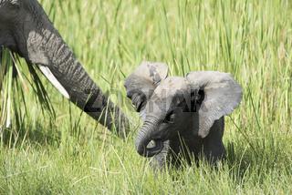 Afrikanische Elefant, Loxodonta africana, Jungtier,