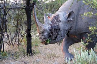 bleeding rhino at etosha