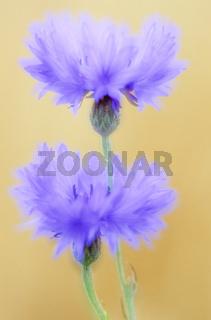 Kornblume die Samen sind sehr oelhaltig - (Mehrfachbelichtung) / Cornflower is the national flower of Estonia - (Multiple exposure) / Centaurea cyanus