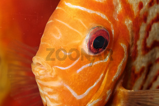 Discus fish portrait
