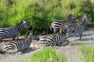 zebras crossing a river at masai mara national park