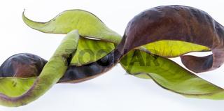 Früchte der Gleditschie