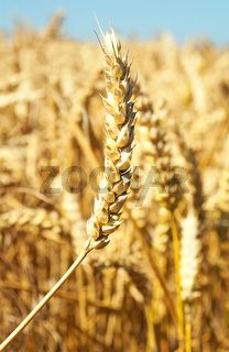 Weizenfeld / Wheat Field