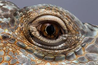 Closeup Eye of Green Iguana