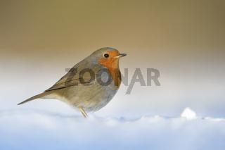 im Schnee... Rotkehlchen *Erithacus rubecula*