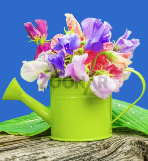 Sweet pea blossoms in green watering can on blue
