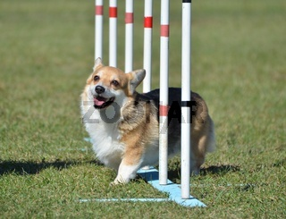 Pembroke Welsh Corgi at Dog Agility Trial