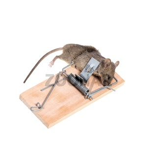 The mouse in a mousetrap it is isolated on a white background