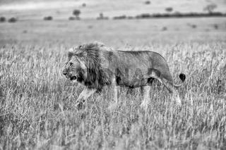 beautiful lion in the bush at the masai mara national park kenya (black and white)