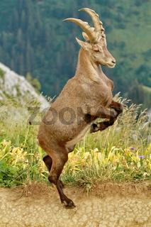 Portrait of ibex