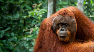 Alpha male Orang-Utan in Borneo