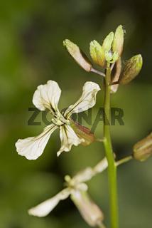 Salatrauke oder Garten- Senfrauke Eruca sativa