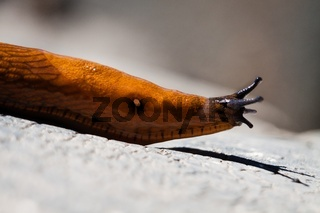 slug crawling in vegetable garden
