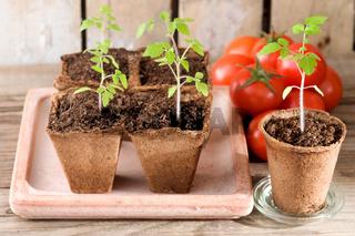 Junge Tomatenpflanzen und reife Tomaten auf Holz