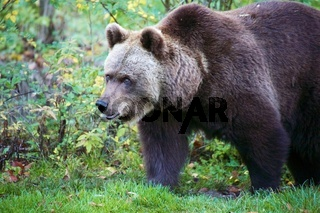 bear at the Bavarian Forest National Park germany