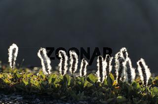 Arktische Weide ueberlebt noch auf 80 Grad noerdlicher Breite und ist somit 1 von 2 am weitesten im Norden lebenden bedecktsamigen Pflanzen / Arctic Willow grows in tundra and is the northernmost woody plant in the world - (Tundra Willow) / Salix arctica