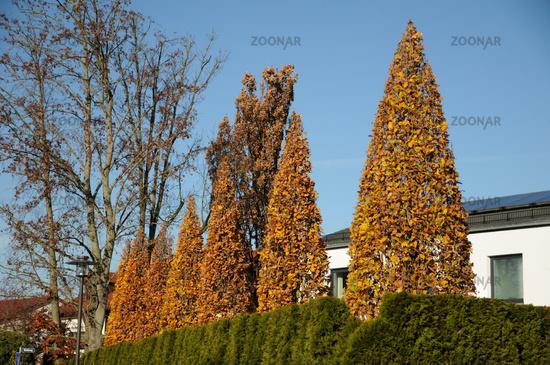 Foto Quercus Robur Fastigiata Sauleneiche Bild 8035981