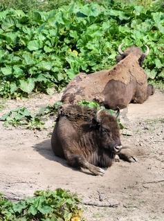 American Bison - Bull