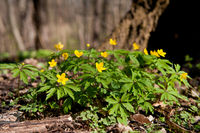 Anemone ranunculoides yellow flowering