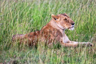 a lioness resting in tha grass at masai mara national park kenya