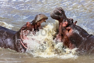 hippo's fight at the masai mara