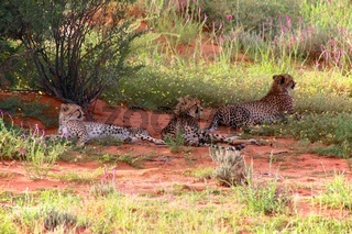 three cheetah at kgalagadi transfrontier park south africa
