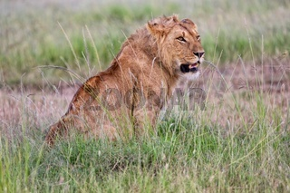 a lion resting in the grass at masai mara national park kenya