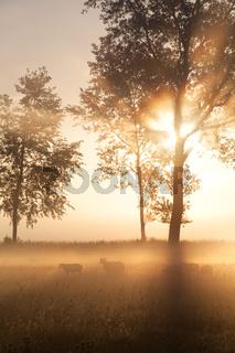 beautiful misty gold sunrise on Dutch farmland