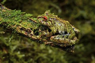 Neotropischer Frosch Pristimantis eriphus