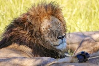 male lion resting at the masai mara national park