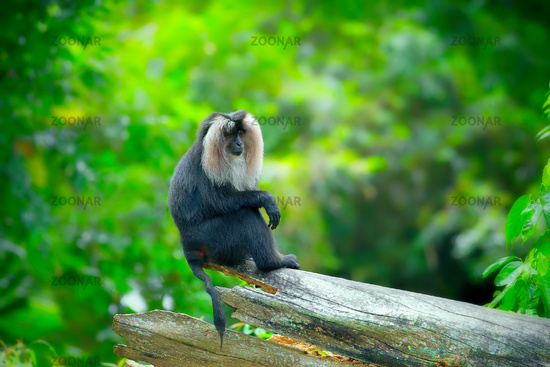 Wild Lion-tailed Macaque