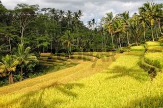 beautifiul rice paddies at bali indonesia