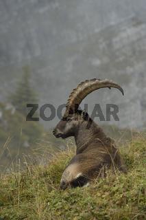 Pause... Steinbock *Capra ibex*