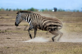 zebra waking up at masai mara national park kenya