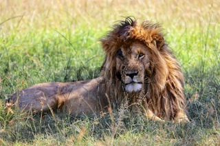 portrait of a the lion named scarface at the masai mara national park kenya africa