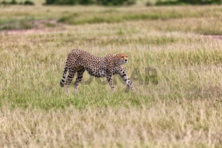 a cheetah in the bush at the masai mara national park kenya
