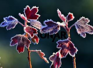 Hoarfrost auf roten Blättern