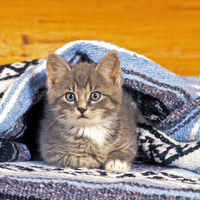 Kitten gray tabby laying under blanket