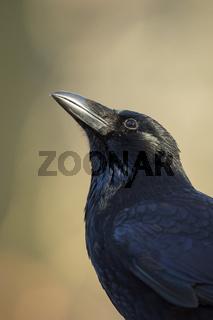 interessiert... Rabenkrähe *Corvus corone*