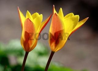 Tulpenblüten, gelb