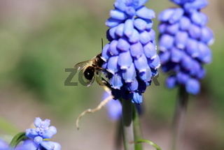 Traubenhyazinthe mit Biene