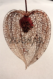 Lampionblume, Hüllenskelett