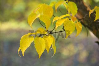 Goldgelbe Herbstblätter
