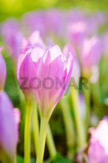 Pink blossoming crocuses in the garden, close up