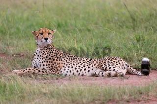 a beautiful cheetah resting at the masai mara national park
