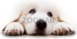 Cute white puppy dog lying and looking up. Polish Tatra Sheepdog