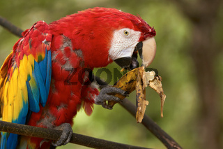 Old red macaw parrot eating a banana