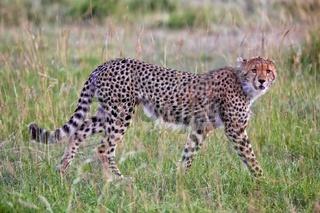 a beautiful young cheetah hunting at the masai mara national park kenya
