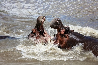 hippo fighting at the masai mara national park kenya